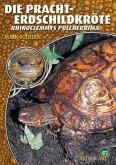 Die Pracht-Erdschildkröte
