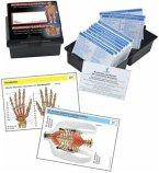Die menschliche Muskulatur, Lernkarten