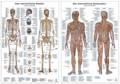 Muskelsystem, Lerntafel; Skelettsystem, Lerntafel, 2 Tafeln ...
