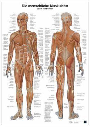 Anatomie-Lerntafel - Die menschliche Muskulatur - Fachbuch - bücher.de