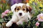 Hund Baboo (Kinderpuzzle)