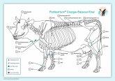 Akupunktur-Tafel Rind/Kuh