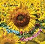 Vom Samen zur Sonnenblume. Kreislauf des Lebens