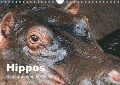 Hippos - Begegnungen in Afrika (Wandkalender 2018 DIN A4 quer)