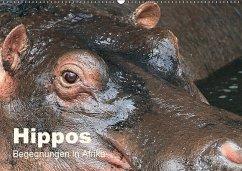 Hippos - Begegnungen in Afrika (Wandkalender 2018 DIN A2 quer) - Herzog, Michael