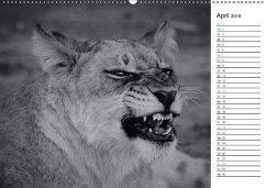 Löwen schwarz weiß (Wandkalender 2018 DIN A2 quer)