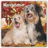 Havanese - Havaneser 2019 - 18-Monatskalender mit freier DogDays-App