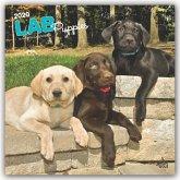 Labrador Retriever Puppies - Labradorwelpen 2020 - 18-Monatskalender mit freier DogDays-App