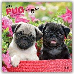 Pug Puppies - Mopswelpen 2020