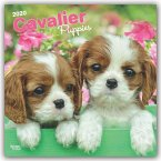 Cavalier King Charles Spaniel Puppies 2020 Square