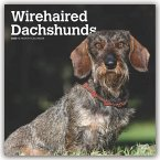 Dachshunds, Wirehaired 2020 Square