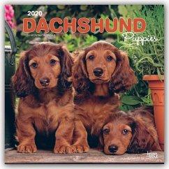 Dachshund Puppies - Dackelwelpen 2020