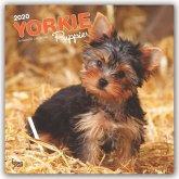 Yorkshire Terrier Puppies - Yorkshire Terrier Welpen 2020 - 18-Monatskalender mit freier DogDays-App