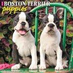 Just Boston Terrier Puppies 2020 Wall Calendar (Dog Breed Calendar)