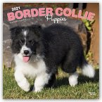 BORDER COLLIE PUPPIES 2021 SQUARE