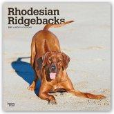 Rhodesian Ridgebacks - Afrikanischer Löwenhund 2021 - 18-Monatskalender mit freier DogDays-App