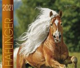Haflinger 2021
