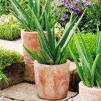 Aloe Vera, im ca. 12 cm-Topf