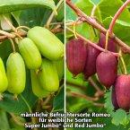 Kiwi Berry® Romeo, im ca. 17 cm-Topf