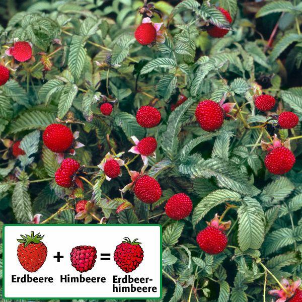 Erdbeerhimbeere, im ca. 17 cm-Topf