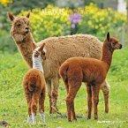 Alpakas 2022 - Broschürenkalender 30x30 cm